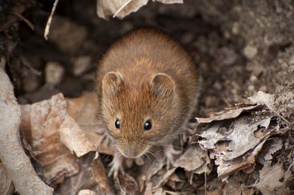 Maus im Hochbeet
